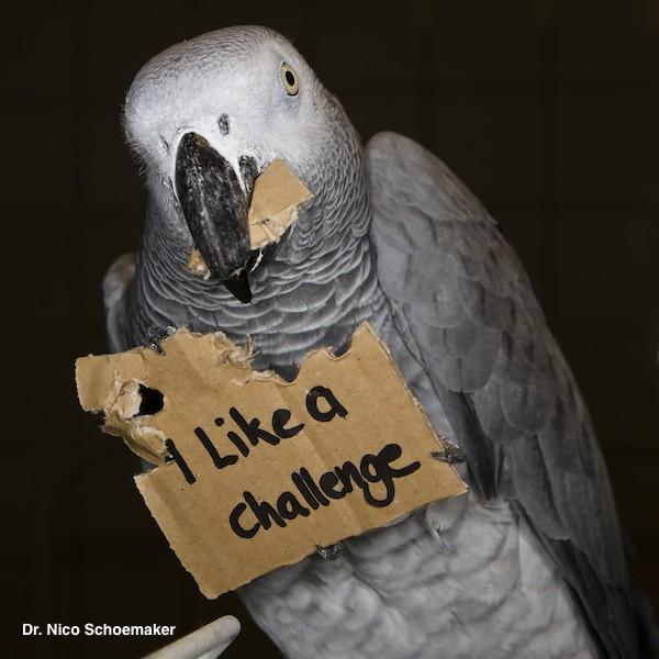 Le comportement explorateur fascinant du perroquet et l'enrichissement de son environnement