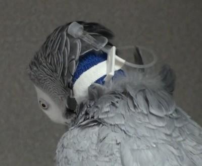 Asegure el puerto con cinta adhesiva a una zona en el exterior del vendaje en la que sea difícil para el ave alcanzar con su pico