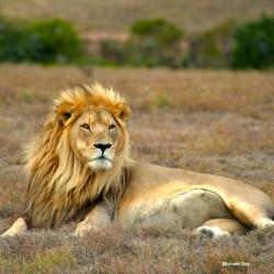 lion Michael Day