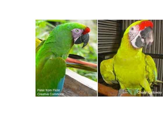 Medium sized macaws