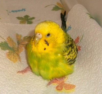 Obese budgie
