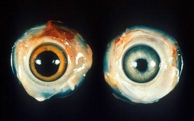 Ojo de un pollo normal (izquierda)