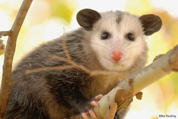 Basic Information Sheet: Virginia Opossum | LafeberVet