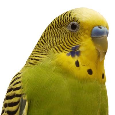 Basic Information Sheet: Parakeet | LafeberVet