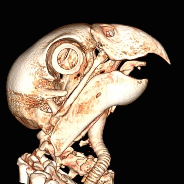Conférence en ligne sur l'anatomie du Perroquet Gris d'Afrique