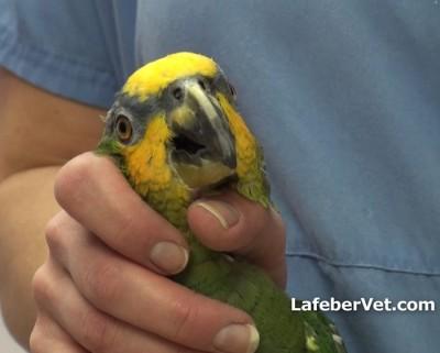 Pour assurer un bon contrôle, il est possible de positionner l'articulation du pouce dans l'espace inter-mandibulaire de l'oiseau