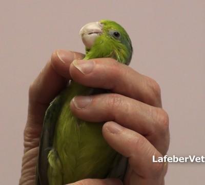 Pour les oiseaux de petite taille, utilisez le pouce et les deux derniers doigts pour contenir les ailes et restreignez la tête avec l'index et le majeur
