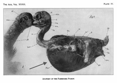 usculatura pectoral extensa (flecha) que recubre la quilla o carina del esternón en la última paloma migratoria, 'Martha'