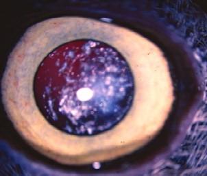 Resorbing cataract in a screech owl