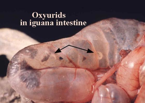 Oxyurid pinworms