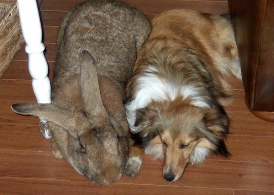 Flemish giant male rabbit napping beside a Shetland sheepdog