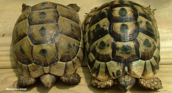 Greek or Spur-Thighed Tortoises