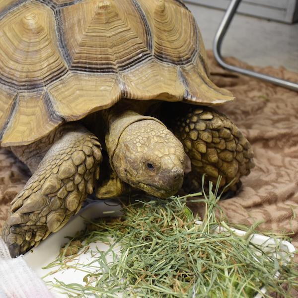 Feeding The Hospitalized Turtle Or Tortoise Lafebervet