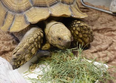 tortoise eating hay Resa McLellan