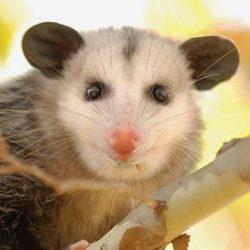 Basic Information Sheet: Virginia Opossum