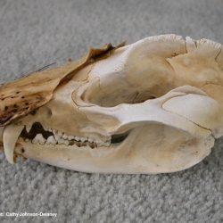 Virginia opossum skull Photo credit: Cathy Johnson-Delaney