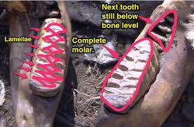 Los molares de un elefante Africano que muestra la estructura laminar del molar en desgaste y el siguiente molar antes de su erupción.