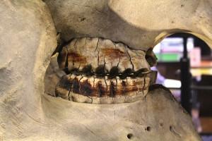 This African elephant specimen from the Royal Veterinary College Veterinary Anatomy Museum illustrates the mandibular and maxillary molars.