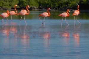 Free-ranging American flamingos.