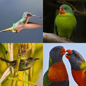 Avian nectarivores belong to Order Passeriformes and Order Psittaciformes