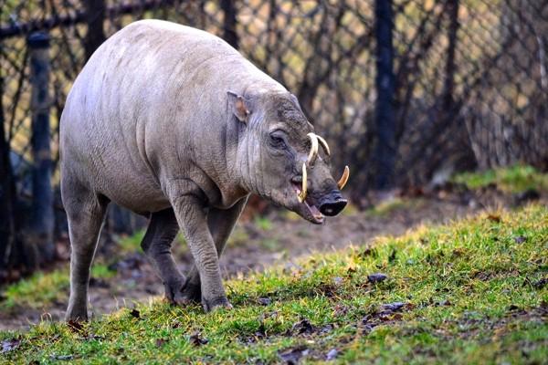Los dientes caninos inferiores del babirusa forman colmillos fuertes, mientras que los caninos superiores se curvan a través del paladar duro y la piel