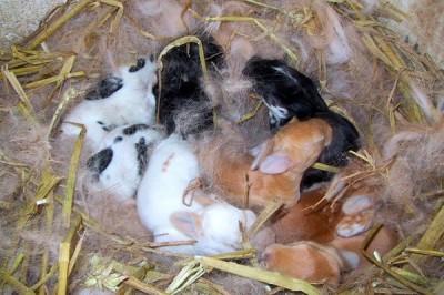 La biche entremêle les poils arrachés avec du foin et de la paille pour créer son nid