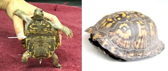 Les tortues-boîtes possèdent une frontanelle hyo-hypoplastral modifiée qui forme une charnière mobile (flèche)