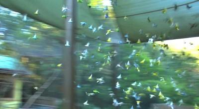 Budgies in flight