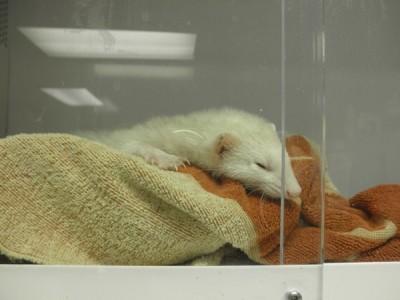 Ferret in burrowing material