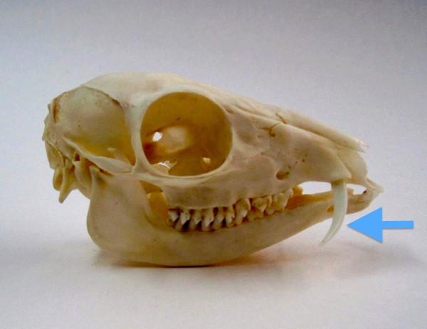 Vista lateral del cráneo de un ciervo ratón macho con los largos colmillos superiores (flecha)