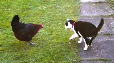 Chicken meets cat