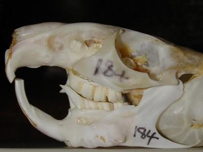 Chinchilla (Chinchilla lanigera) skull illustrating gross elongation and enamel point
