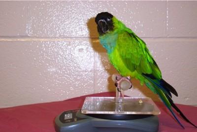 Conure on scale perch
