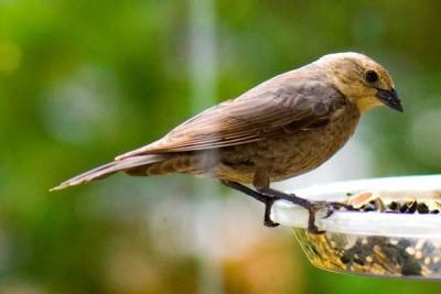 cowbird quinet