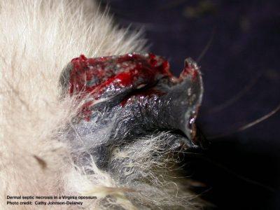 Dermal septic necrosis in a Virginia opossum Photo credit: Cathy Johnson-Delaney