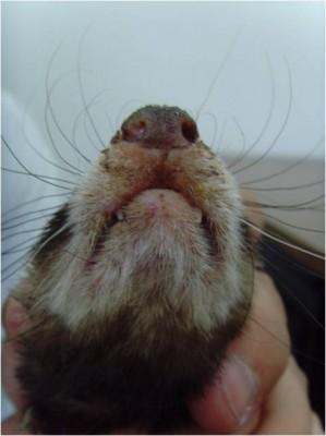 Dermatitis in a ferret