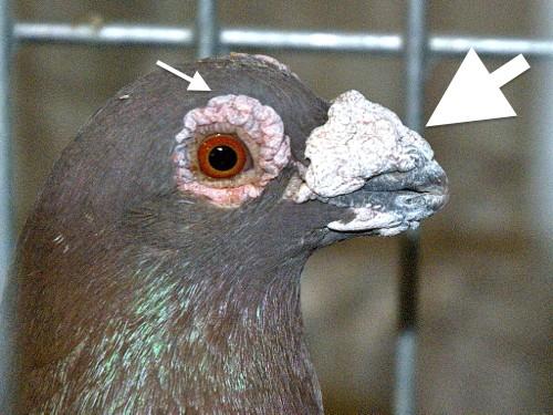 Pigeon Anatomy Amp Physiology 15 Facts Lafebervet