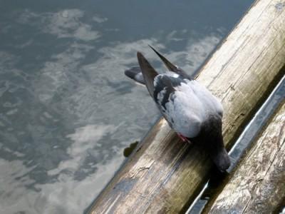 A diferencia de la mayoría de las aves, las colúmbidas beben sumergiendo el pico