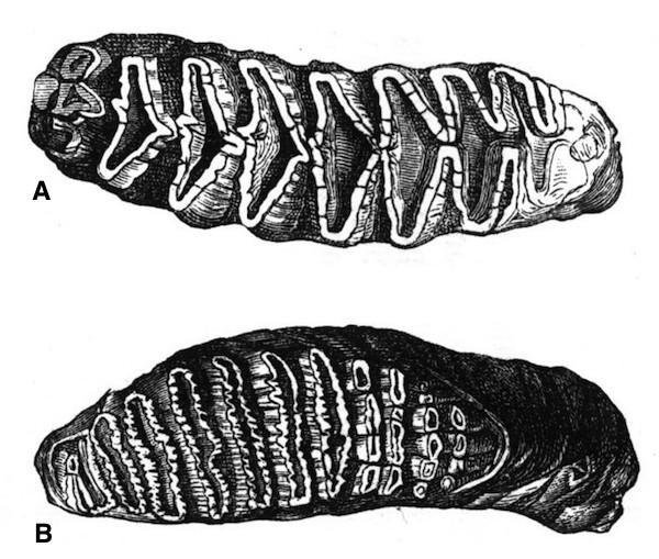 Las laminillas de los molares tienen una forma de diamante en el elefante Africano.