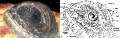 Eye and eyelids of a loggerhead turtle