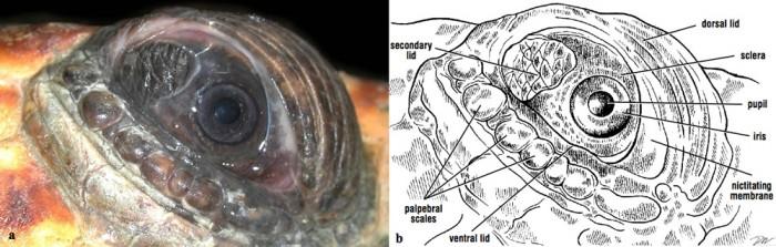 Turtle Eye Diagram Electrical Drawing Wiring Diagram