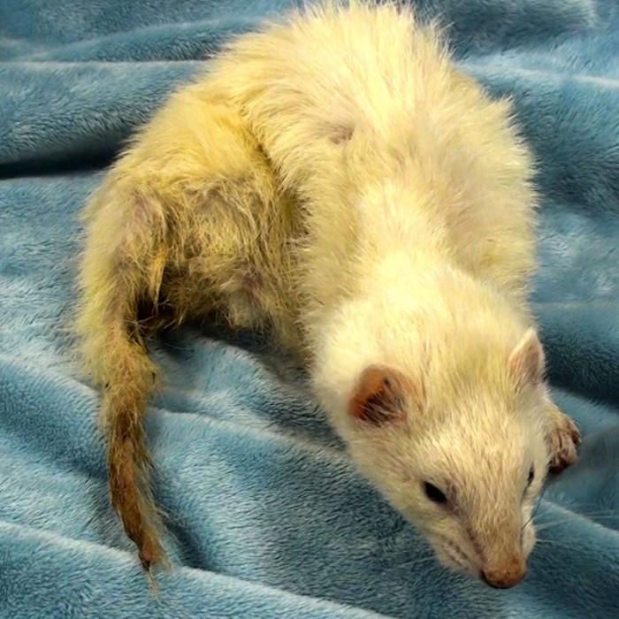Assessing the Sick Ferret | LafeberVet