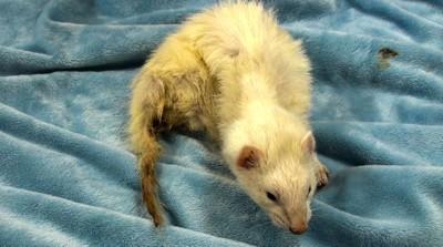 ferret sick fecal staining