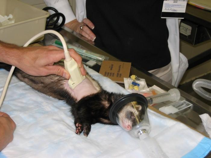Ferret Pet Care