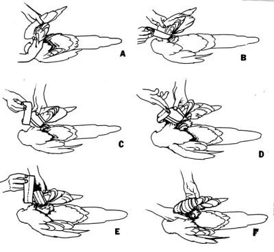 Diagrama ilustrando el vendaje en ocho utilizado para vendar el ala