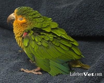 Fluffed ruffled parrot