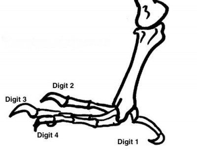 Bird foot diagram