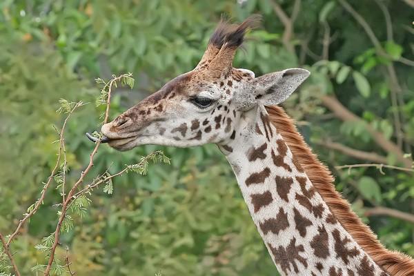 Las jirafas utilizan premolares y molares con corona baja y esmalte áspero para masticar las hojas de acacia