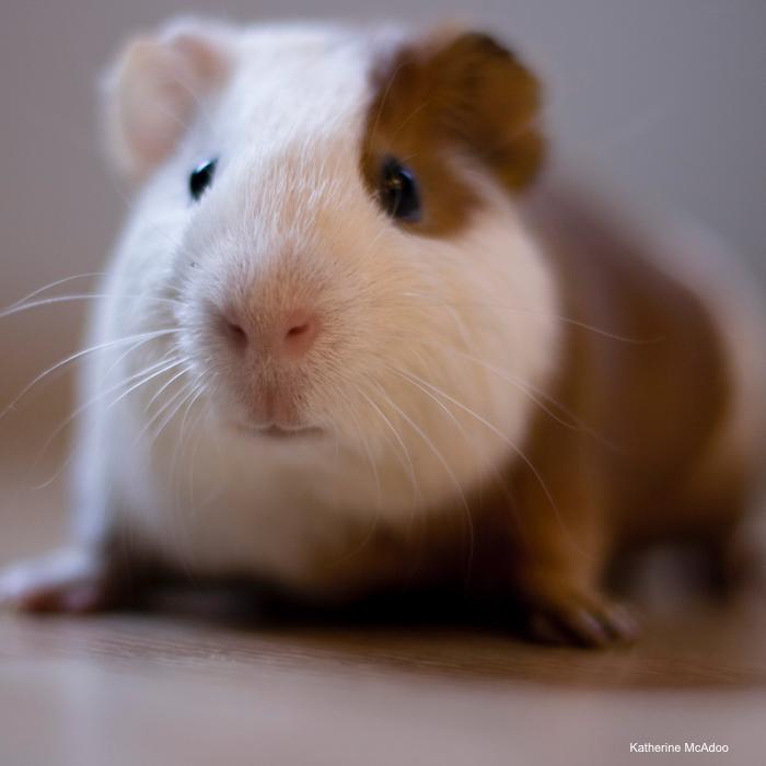 Behavior Essentials: The Guinea Pig | LafeberVet