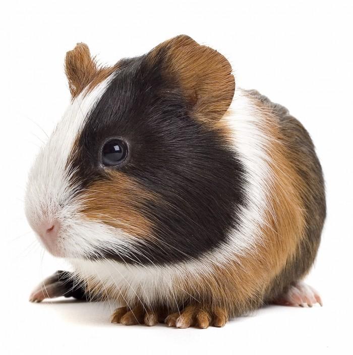 Basic Information Sheet: Guinea Pig | LafeberVet